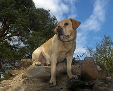 Free Labrador On The Wall Stock Photography - 6637982