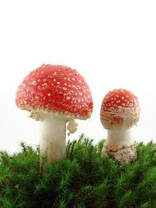 Fly Agaric Mushrooms Royalty Free Stock Images