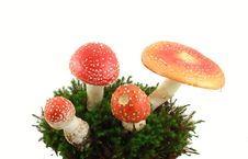 Fly Agaric Mushrooms Stock Photo