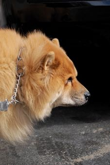 Chow Chow Dog On Walk Royalty Free Stock Photography