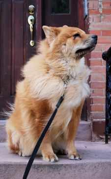 Free Chow Chow Dog On Stoop Stock Photography - 6638662