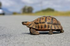 Free Mountain Tortoise Royalty Free Stock Images - 6638819