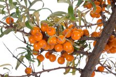 Close-up Branch Of Sea-buckthorn Royalty Free Stock Photography