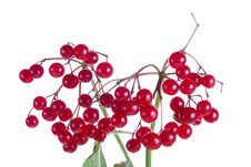 Free Close-up Branch Of Snowball Tree Royalty Free Stock Photography - 6638887