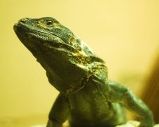 Free Lizard Stock Photography - 6639092