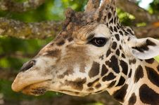 Free Giraffe S Eating From A Tree Stock Photo - 6639150