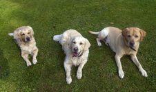 Free Three Dogs Royalty Free Stock Photos - 6639568