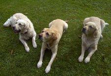 Free Three Dogs Royalty Free Stock Image - 6639756