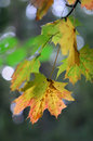 Free Autumn Leafs Royalty Free Stock Images - 6643229