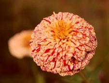 Free Urchin Flower Royalty Free Stock Photos - 6640228