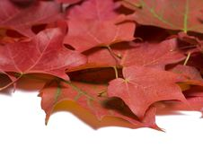 Free Maple Leaves Stock Photos - 6640703