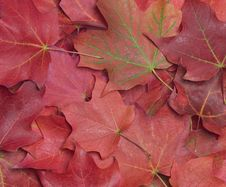 Free Maple Leaves Background Stock Photo - 6640720