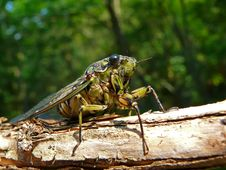 Free Cicada (Tibicen Bichamatus) 8 Royalty Free Stock Photography - 6641137
