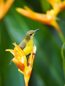 Free Sunbird Perched On Heliconia Stock Images - 6641514