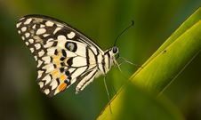 Free Lime Butterfly Stock Photos - 6641803
