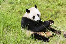 Free Giant Panda Royalty Free Stock Photos - 6642798
