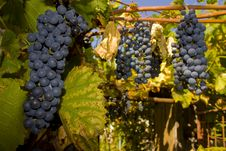 Free Grapes Stock Photography - 6642882
