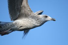 Free Seagull Royalty Free Stock Photography - 6643797
