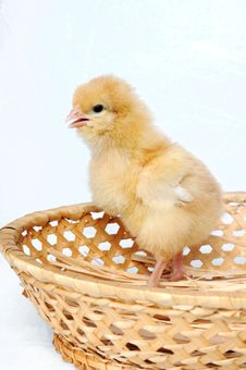 A Small Chicken Stock Photography