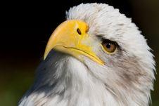 Free Bald Eagle Royalty Free Stock Image - 6644386