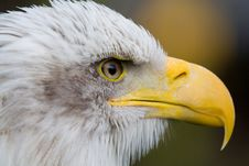 Free Bald Eagle Royalty Free Stock Photography - 6644417