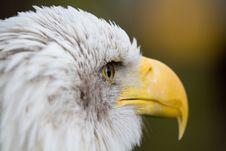 Free Bald Eagle Stock Photo - 6644430