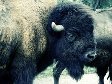 Free Acidic Bison Portrait Royalty Free Stock Photo - 6644785