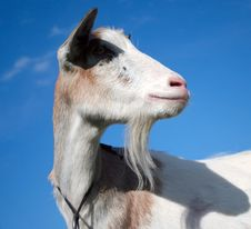 Free Curious Goat Royalty Free Stock Photo - 6645075