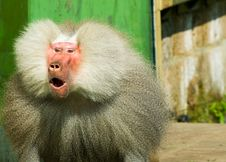 Free Suprised Baboon Monkey Royalty Free Stock Image - 6646396