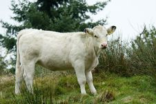 Free Beautiful White Cow Stock Photo - 6646500