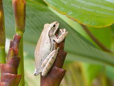 Free Frog On Tubular Bract Stock Image - 6647601