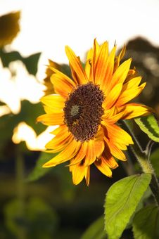 Free Sunflower At The Night Stock Photography - 6647612