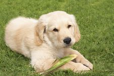 Small Golden Retriever Puppy Royalty Free Stock Image