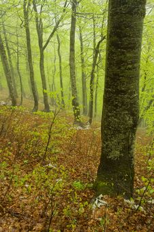 Free Rainy Spring Forest, Croatia Royalty Free Stock Photography - 6649027