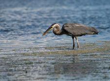 Free Heron Fishing Stock Images - 6649624
