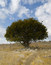 Free The Oak Tree Royalty Free Stock Images - 6652529
