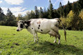Free Cow On Meadow Stock Photo - 6654200