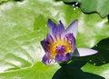 Free Blue Lotus Stock Images - 6655204