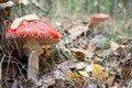 Free Mushroom A Fly-agaric Stock Photos - 6655473