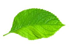 Free Leaf Royalty Free Stock Photo - 6650485