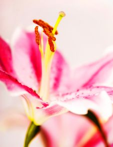 Free Lilly  Flower Closeup Royalty Free Stock Photo - 6650915