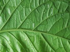 Free Green Leaf Stock Image - 6651271