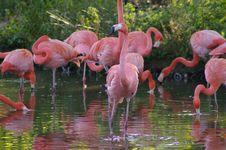 Free Flamingos Stock Image - 6651581