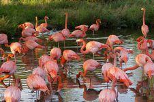 Free Flamingos Royalty Free Stock Photo - 6651605