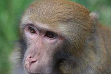 Free Monkey King Royalty Free Stock Image - 6651616