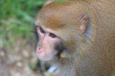 Free Monkey King2 Royalty Free Stock Image - 6651636
