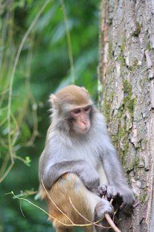 Free Monkey Royalty Free Stock Images - 6651639