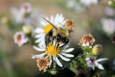 Free Bumble Bee Royalty Free Stock Images - 6651759