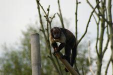 Free Monkey Royalty Free Stock Photography - 6651837