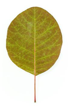 Free Leaf Isolated Royalty Free Stock Images - 6652219